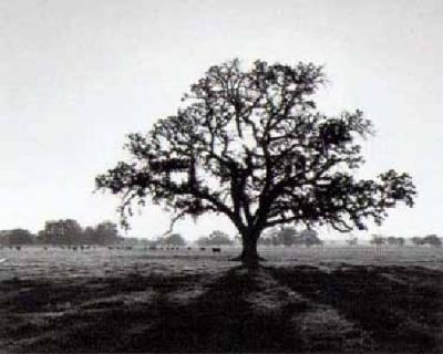 Ansel-Adams-Oak-Tree--Sunrise-10010